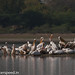 uttampegu posted a photo:	Great White Pelicans and Rosy Pelicans at Menar, Udaipur