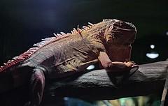 crocodile(0.0), tyrannosaurus(0.0), alligator(0.0), crocodilia(0.0), animal(1.0), iguania(1.0), reptile(1.0), lizard(1.0), fauna(1.0), iguana(1.0),