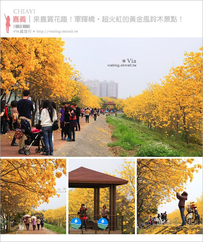 【嘉義景點】嘉義軍輝橋黃金風鈴木~全台最美的堤防!開滿滿的風鈴木美炸了!1