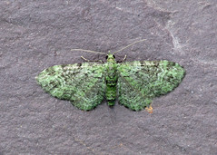 70.144 Green Pug - Pasiphila rectangulata