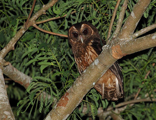 Mottled Owl/Coruja-do-mato/Lechuza estriada (Strix virgata)