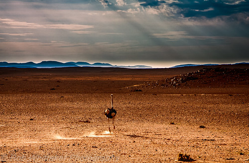 africa sunset blackandwhite sun abstract canon landscape mammal stripes creative surreal ostrich safari westafrica namibia animalplanet etosha angola sossusvlei swakopmund southernafrica africanwildlife namibdesert wildlifephotography canonphotography etoshanationalpark africanlandscape erongo namibnaukluftnationalpark africaportrait robertwhittaker etoshanamibia namibialandscape namibiaoverland africaphotography sossusvleipan canonwildlife swafrica abstractafrica erongonamibia sazzoo robwhittaker robwhittakerphotography sazzoocom robertwhittakerphotography oasisafrica ©robwhittakerphotography nambiaphotography eos24105mm ostrichrunning