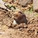 Big-headed mole-rat by Oleg Chernyshov