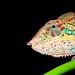 Panther chameleon (Furcifer pardalis) by medXtreme