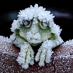 ...this is the reason I believe the F.R.O.G. Is a perfect example of  Fully  Rely  On  God...  NOT DEAD YET  The wood frog has garnered attention by biologists over the last century because of its freeze tolerance. Antifreeze-like blood lets frogs freeze