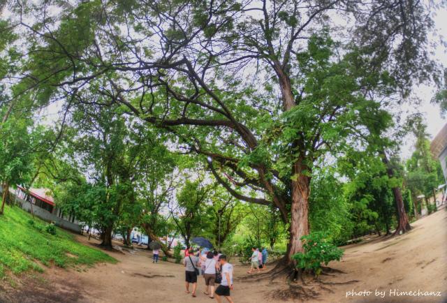 公園には大木が!