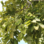 Pterocarpus indicus leaf and seedpod