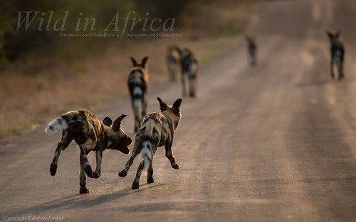 The Wild Dogs were out to play.