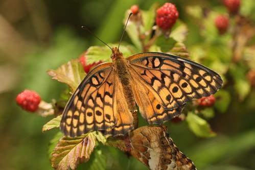 northcarolina richmondcounty variegatedfritillary