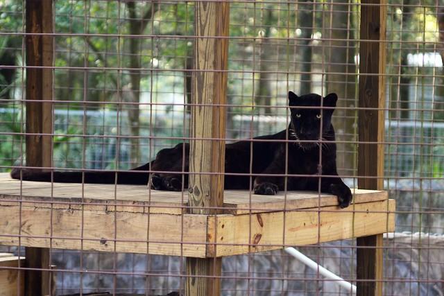 Panther Up High