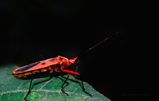 The red bug's a beetle. It's shaped like a pea. Its colour is a bright red With lots of spots to see.