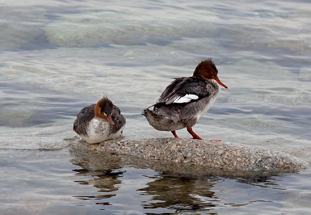 Two Wet Ducks