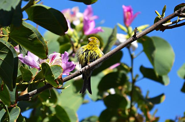 Canary bird, Tenerife