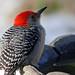 Red-bellied Woodpecker 2415 by maerlyn8