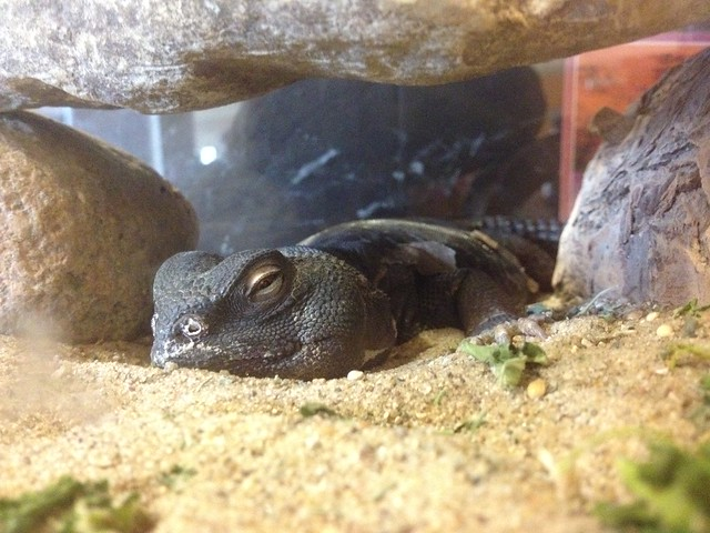 Ollie the Uromastyx