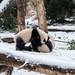 Pandas wrestling in the snow