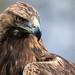Golden Eagle - Falconry Centre UK Thirsk Birds of Prey Centre by patrick-walker