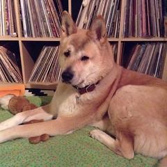 dog breed, animal, akita inu, akita, dog, shiba inu, canaan dog, pet, mammal, finnish spitz, korean jindo dog,