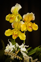 Greater Lansing Orchid Society