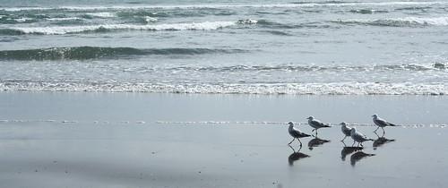 Gulls on the beach at Tangimoana