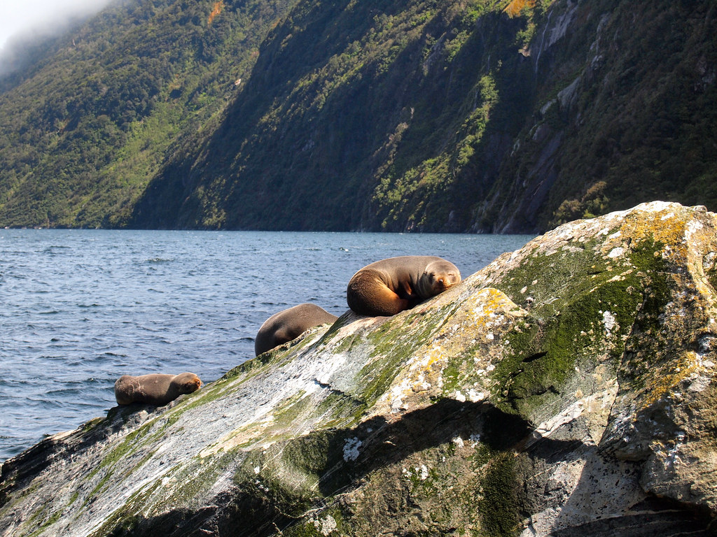 New Zealand fur seals at Milford Sound