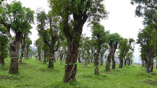 護樹志工探望松煙移植到山豬窟的老樹,並為他們繫上祈福黃絲帶。