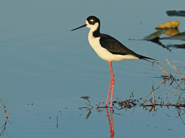 Black-necked Stilt 02-20150315