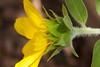 Sunflower Fuzziness
