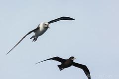 Albatros à tête grise et pétrel à menton blanc
