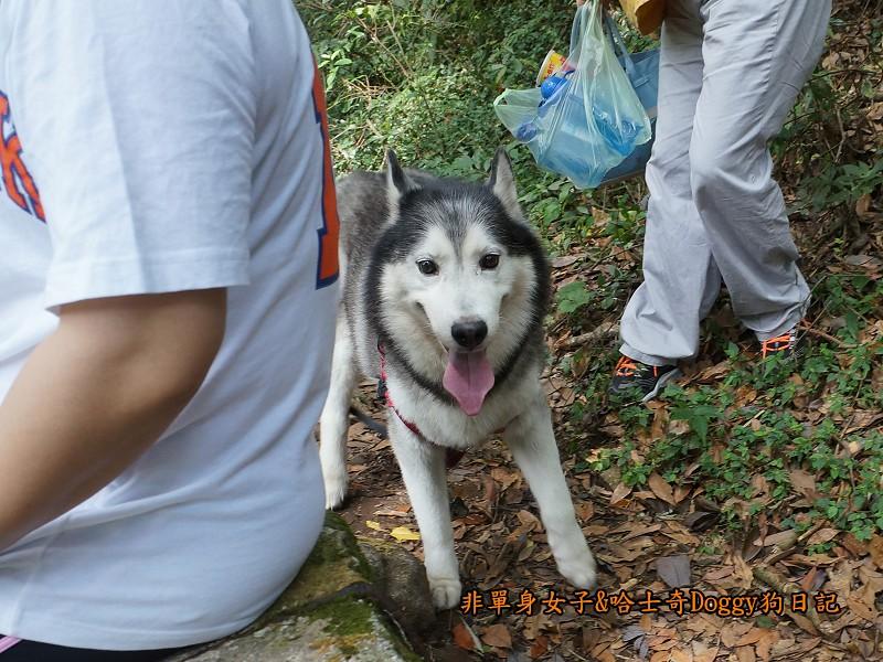 哈士奇Doggy2013陽明山二子坪18