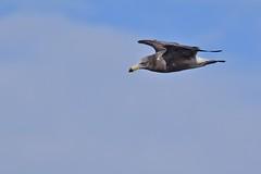 Pacific  Gull  ( imm. )
