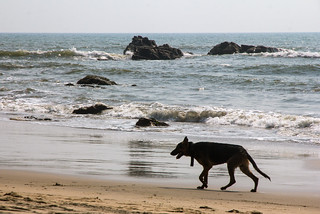 Image of Wagh (Tiger) Arambol Beach. india beach goa arabiansea arambol canon60d