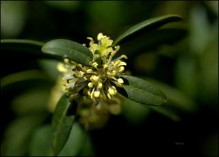 fleur de buis