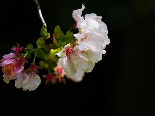 櫻花 Cherry blossoms