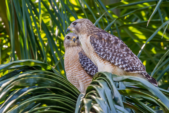 Red Shouldered Hawk Couple, Wakodahatchee Wetlands