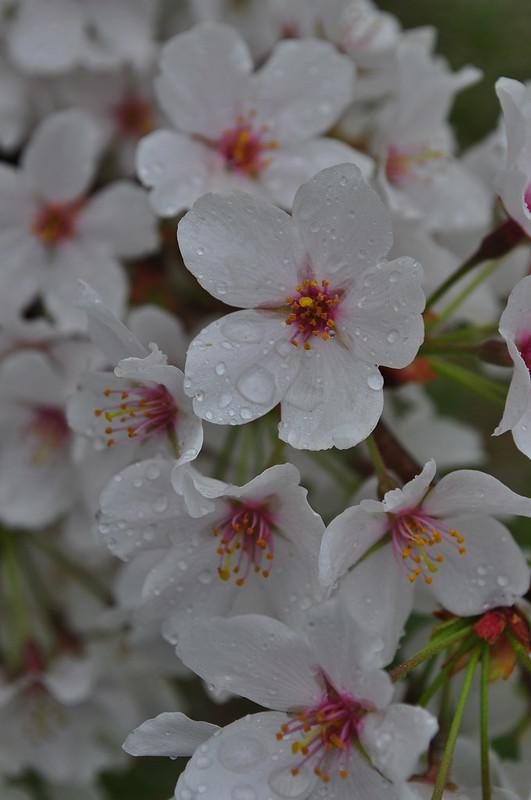 Prunus × yedoensis (2)