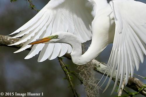 Great Egret - Breeding Colors