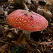 Small photo of Amanita muscaria mushroom