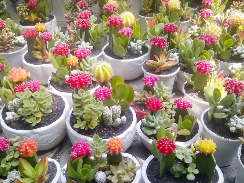 caysenda.com | sen da | xuong rong | tieu canh sen da | art plant | terrarium | xuong rong ghep