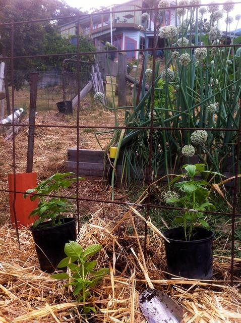 Planting basil @ Commonground