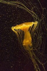 The dance of the jellyfish