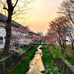 Beautiful evening in Nakanoshima district of Sapporo city. Cherry blossoms are in full bloom and the meandering river is splashed with the colors of dusk. #instajapan #japan #japonia #sapporo #hokkaido #dusk #railway #japanese #instaphoto #instagram #inst
