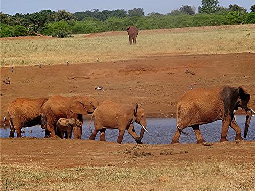 loxodontaafricana afrikanischerelefant naturguckerde 879702921 chorstschlüter 625012957 ngid1258951234
