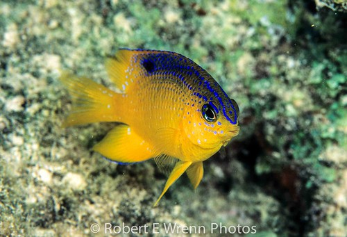 Juvenile Longfin Damselfish (Stegastes diencaeus). Photo from Flickr Robert E Wrenn