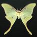 Small photo of Actias luna (luna moth)
