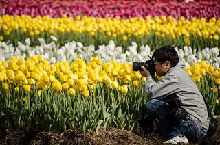 tulips 05