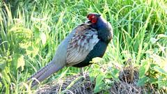 peafowl(0.0), stock dove(0.0), animal(1.0), prairie(1.0), pheasant(1.0), grass(1.0), fauna(1.0), beak(1.0), bird(1.0), wildlife(1.0),