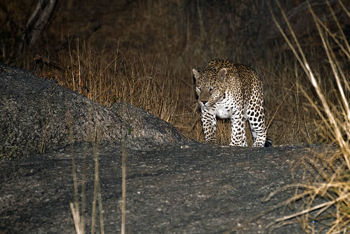 Male Leopard in Jawai, Rajasthan