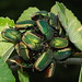 Green fig beetles cluster on the fig tree in the Children's Discovery Garden by Distraction Limited
