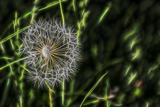 Fractal dandelion 26 May 2016